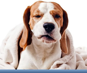 Dor em Cães e Gatos
